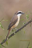 Brown shrike C20D 03181.jpg