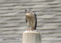 Chinese-Sparrow Hawk Accipiter soloensis 붉은배새매