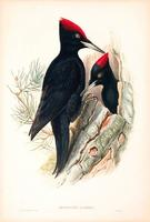 Richter after Gould Great Black Woodpecker (Dryocopus martius)
