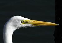 Great Egret Head  a.jpg (27493 bytes)