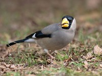 Japanese Grosbeak » Eophona personata