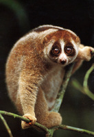 photograph of slow loris : Nycticebus coucang