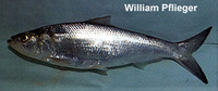 Alosa chrysochloris, Skipjack shad: fisheries, gamefish