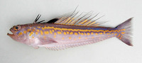 Trachinus pellegrini, Cape Verde weever: fisheries