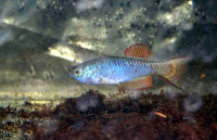 Nothobranchius thierryi, Togo Killifish: aquarium