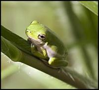 Image of: Hyla cinerea (green treefrog)