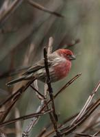 Image of: Carpodacus mexicanus (house finch)