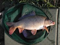 Cyprinus carpio - Common Carp