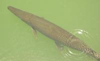 Image of: Atractosteus spatula (alligator gar)