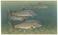 Image of: Salvelinus namaycush (lake trout)