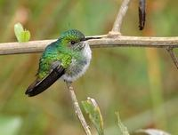 White-tailed Emerald (Elvira chionura) photo