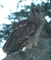 Verreaux's Eagle-Owl p.202