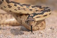 : Pituophis melanoleucus; Gopher Snake