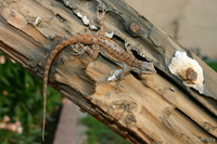 : Urosaurus ornatus; Ornate Tree Lizard