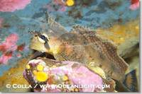 ...Image 13704, Sailfin sculpin., Nautichthys oculofasciatus, Phillip Colla, all rights reserved wo