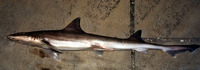 Mustelus norrisi, Narrowfin smooth-hound: fisheries