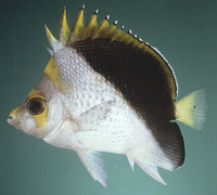 Chaetodon flavocoronatus, Yellow-crowned butterflyfish: aquarium