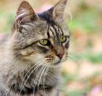 Image of: Felis silvestris (wild cat)