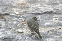 Anthus petrosus - Rock Pipit