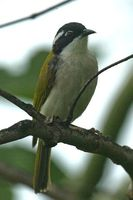 White throated Honeyeater