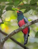 Slaty-tailed Trogon (Trogon massena) photo