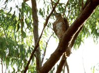 Red Goshawk - Erythrotriorchis radiatus