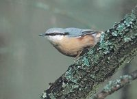 Eurasian Nuthatch (Sitta europaea) photo