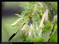 Ashy-bellied White-eye - Zosterops citrinellus