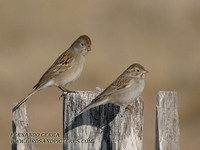 Worthen's Sparrow - Spizella wortheni