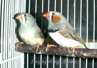Normal ZEBRA FINCH