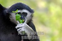 black white handed gibbon with leaf in his hand ( Hylobates lar ) stock photo
