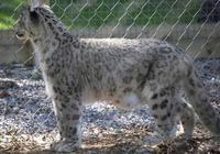 Photo of a snow leopard Panthera Uncia