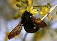 : Xylocopa varipuncta; Valley Carpenter Bee