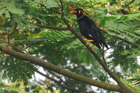 Common Hill Myna ( Gracula religiosa )