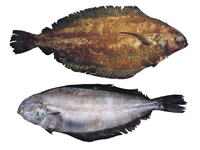 Glyptocephalus zachirus, Rex sole: fisheries
