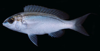 Scolopsis frenatus, Bridled monocle bream: fisheries