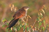 Centropus superciliosus - White-browed Coucal