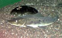 Image of: Platystomatichthys sturio (long-whiskered catfish)