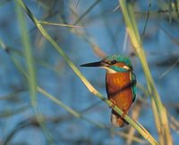 Common Kingfisher (Alcedo atthis) photo