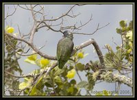 Red-billed Parrot - Pionus sordidus