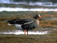 The Lesser White-fronted Goose is classified by BirdLife as Vulnerable