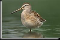 Short-billed Dowitcher, Jamaica Bay, NY
