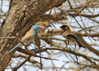 Speckle-fronted Weaver, Blue-capped Cordon-bleu and Chestnut Sparrow