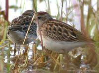 Long-toed Stint Calidris subminuta 종달도요