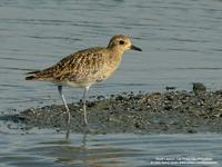 Asian Golden-Plover