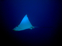 : Aetobatus narinari; Spotted Eagle Ray
