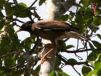 Common Myna(Acridotheres tristis)