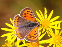 Lycaena phlaeas - Small Copper