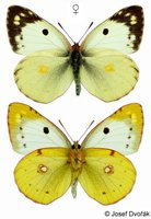 Colias alfacariensis - Berger's Clouded Yellow