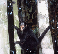 White-cheeked spider monkey (Ateles marginatus)